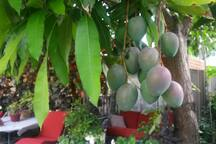Yes, all you can eat: pick ripe mangos fresh 2 trees so SWEET