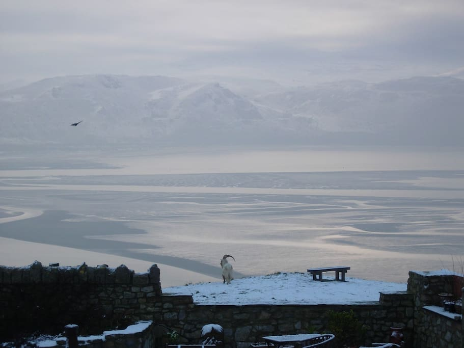 An Orme Goat admiring the view on Xmas morning.- photo taken from your bedroom window