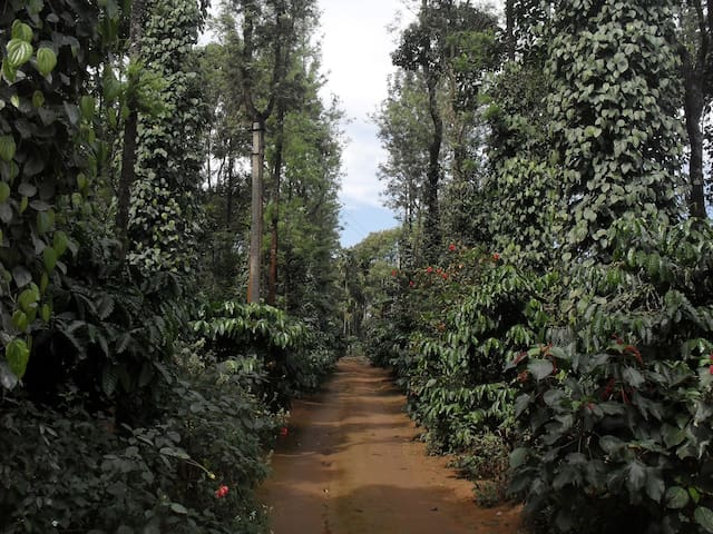 Driveway to the cottage through one of well maintained evergreen Pepper and Coffee Estate