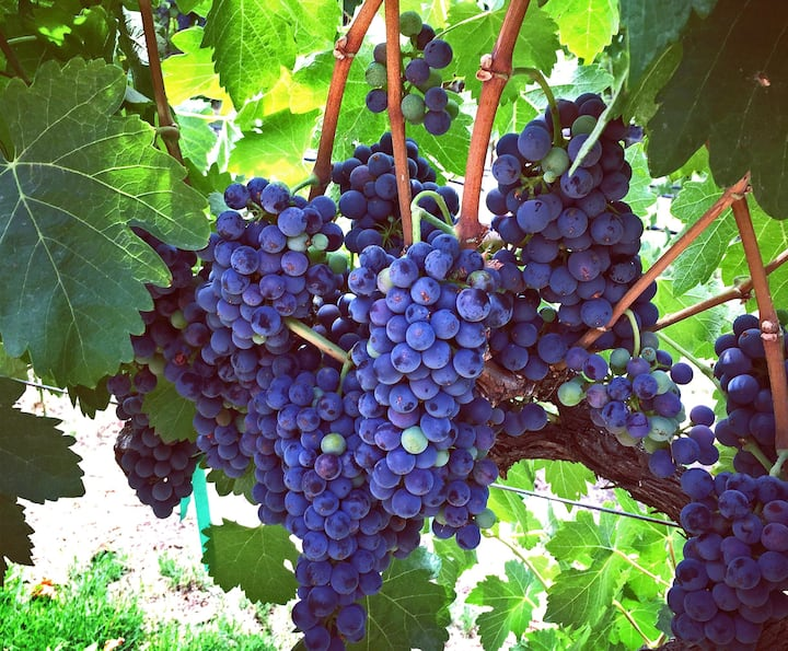 Syrah Grapes at Page Springs Cellars
