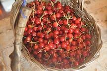 Cherries harvest!
