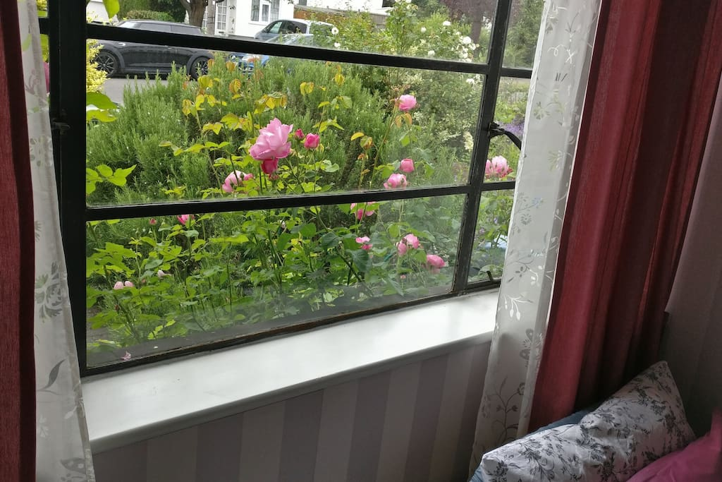 View of roses from the window