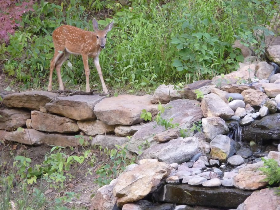 Baby deer by our 30' cascading waterfall