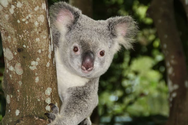 1 hour & 5 minutes  by car: Meet the friendly Koala at Koala Conservation Center on Phillip Island.