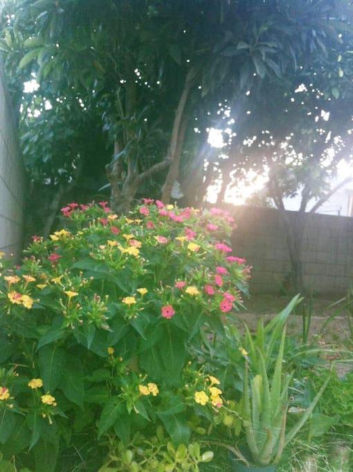 后院有近10种果树:枇杷,柚子,桔子,梨树,枣树,无花番石榴,释迦果等等。