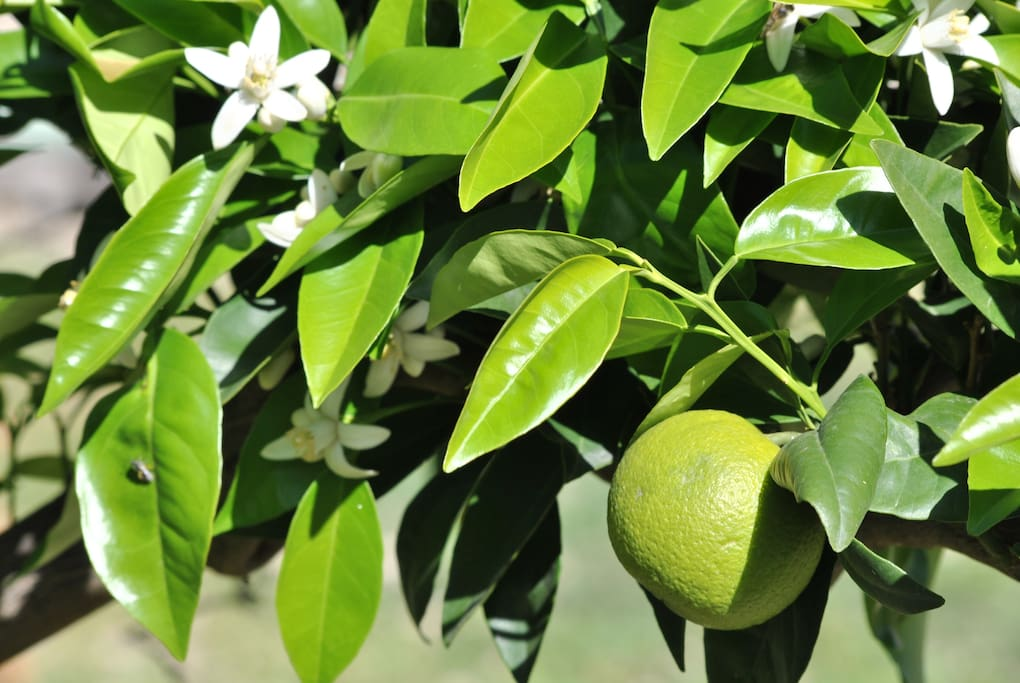 The smell of the orange tree