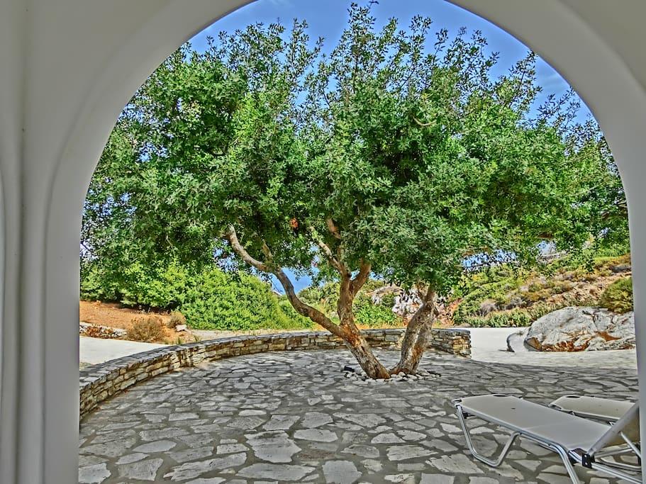 Skinos tree