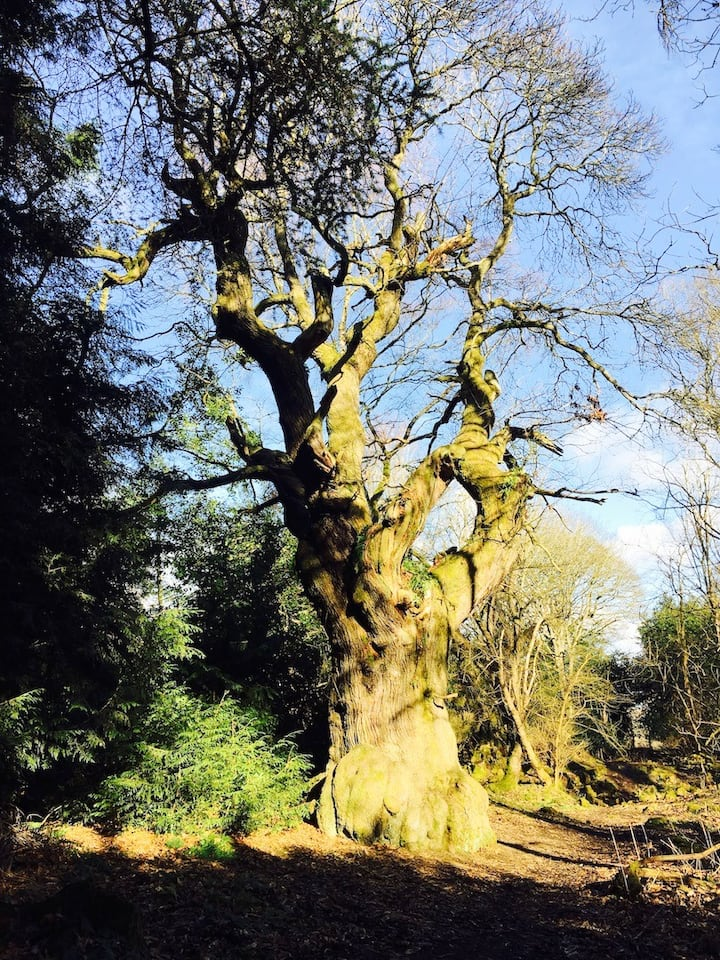 Chestnut over 500 years old in the glen