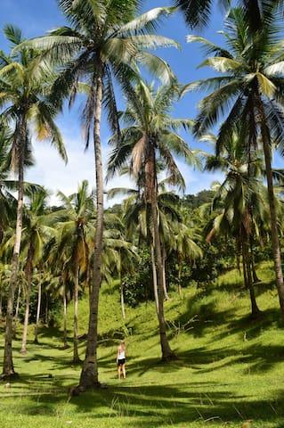 coconut field in the farm