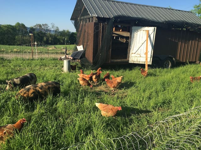 Pasture raised chickens in their mobile coup.