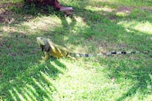 Iguanas coming to check out the mangos