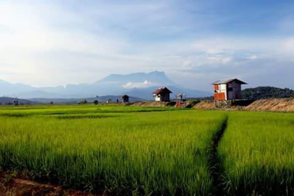 Paddy field area