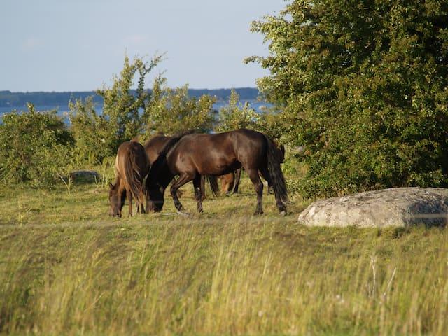 Horses roaming Tosteberga meadows