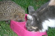 Cats and hedgehogs share the food bin in perfect harmony