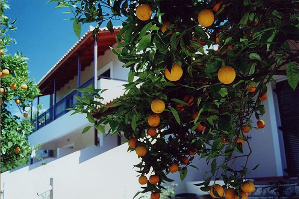Oranges ripe for picking.