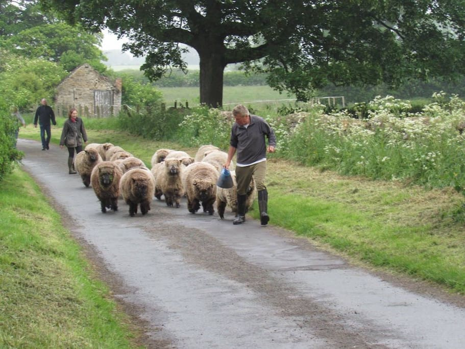 Bringing in our Ryeland Sheep!