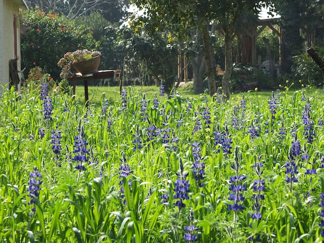 Lupins in the spring