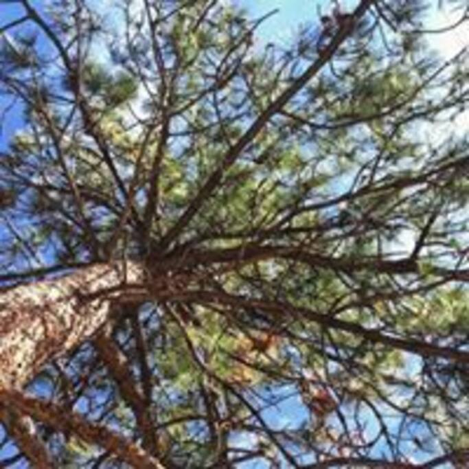 Camp among pine trees, there are SO many pine cones to pick!
