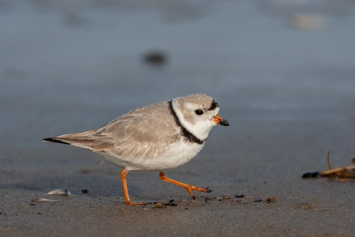 The piping plover nests on Plum Island beaches.