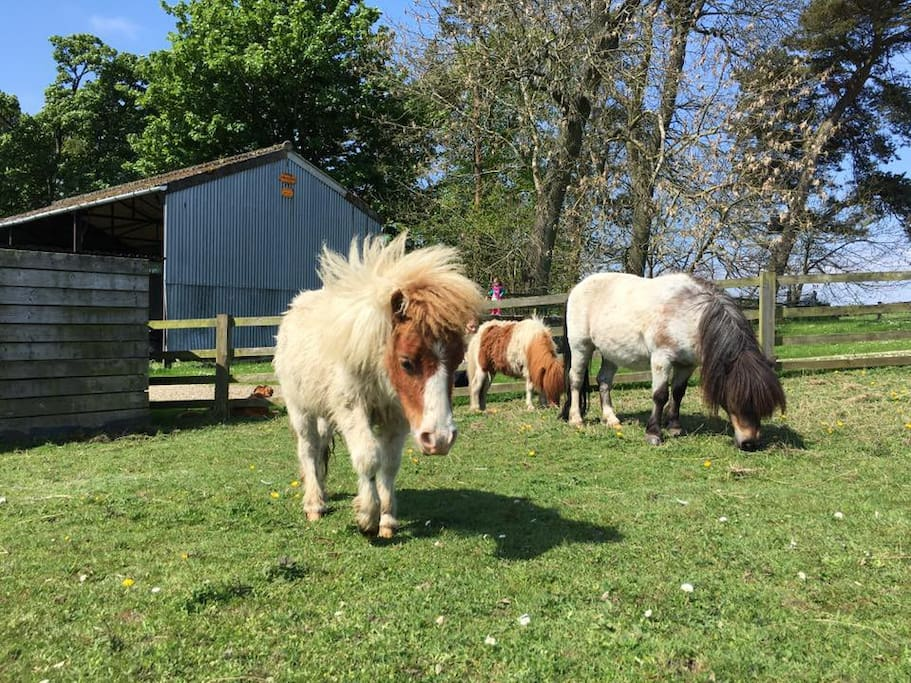 Shetland ponies - remember your carrots