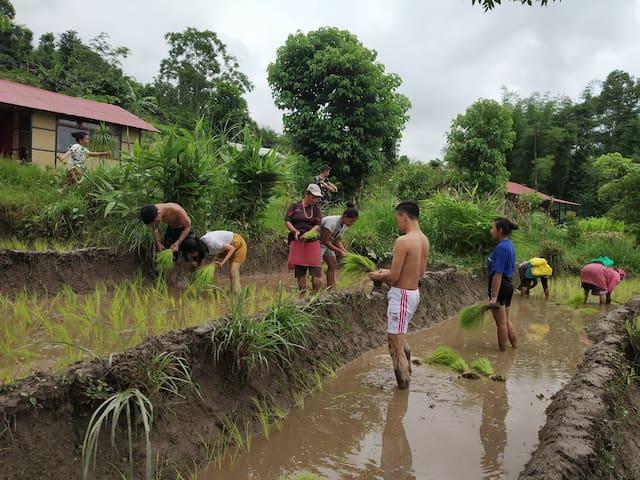 Palighar- Nepali mud house within paddy fields