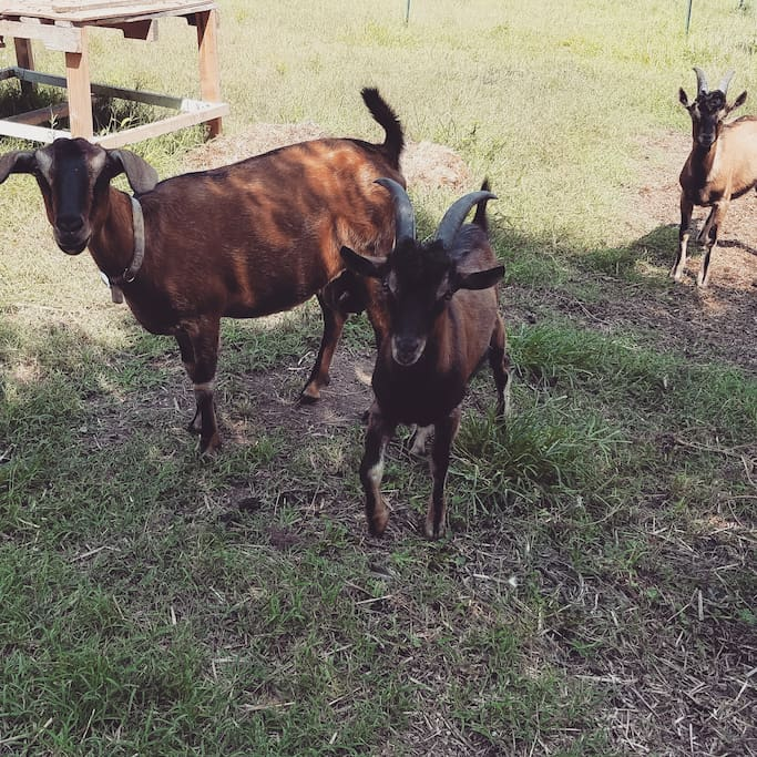 A few of our goats who love petting and getting special snacks!