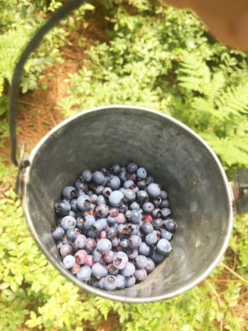 Wild blueberry picking on property in season