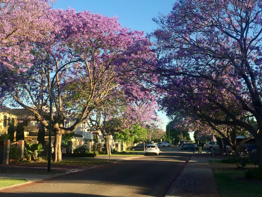 Applecross in Spring with the Jacaranda trees in full bloom