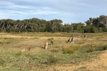 Kangaroos at resort