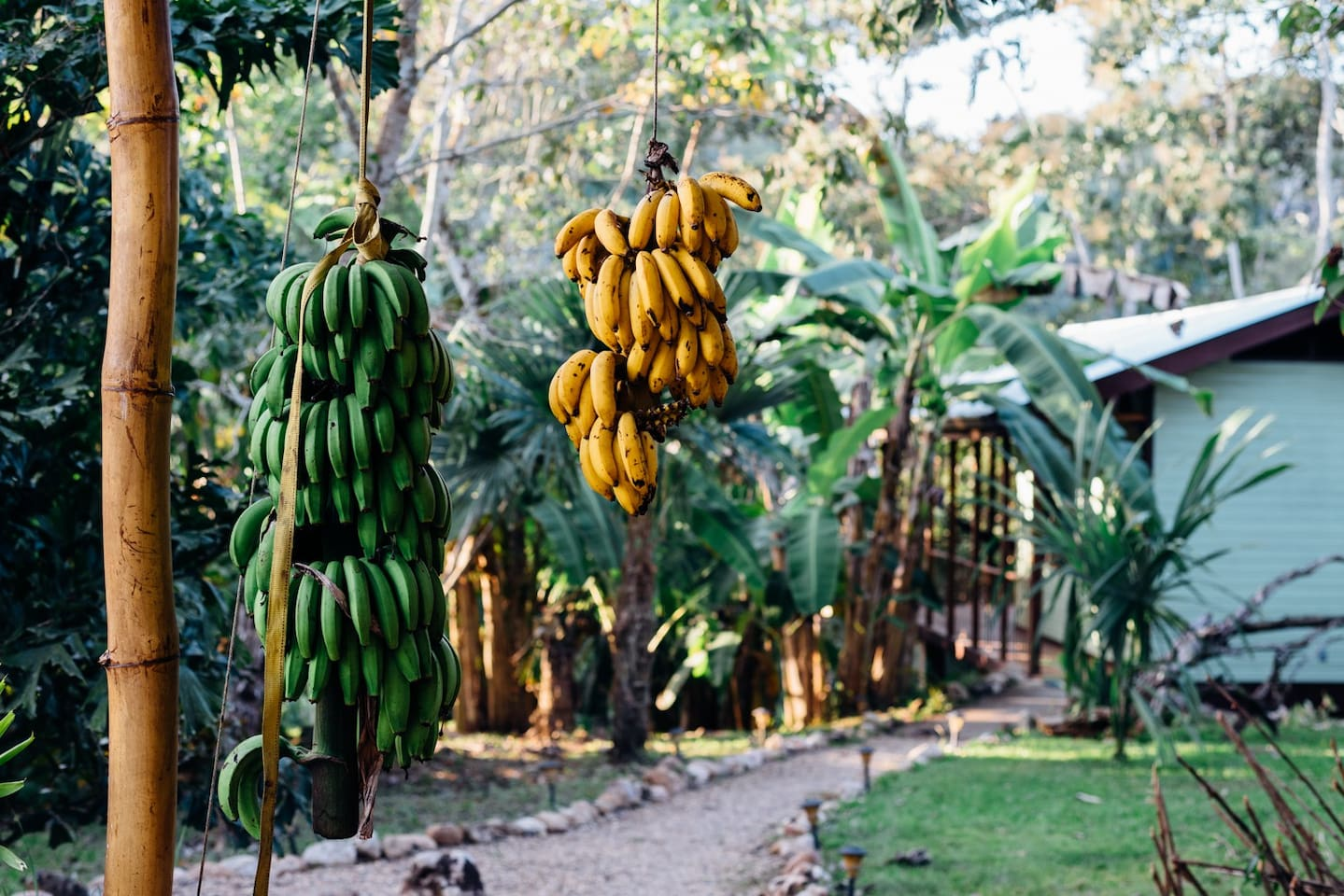 The reason for the Banana Bungalow name!  We have two types of bananas growing on the property.  Our guests are welcome to eat any of our 'edible landscape.'