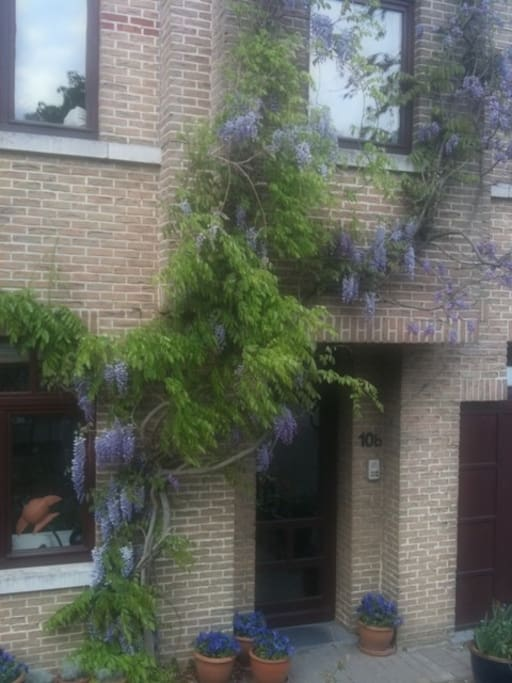 The wisteria at the front