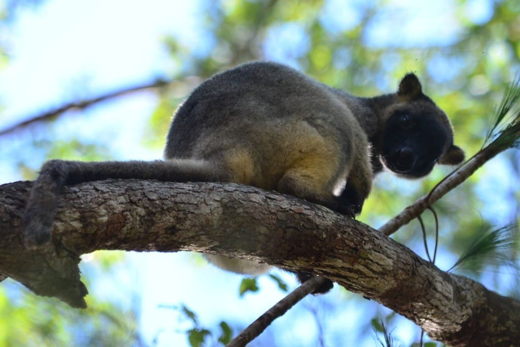 Local inhabitant spotted by recent guests (Lumholtz tree kangaroo)