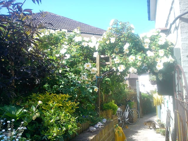 Rambling rose bush over side passage of house