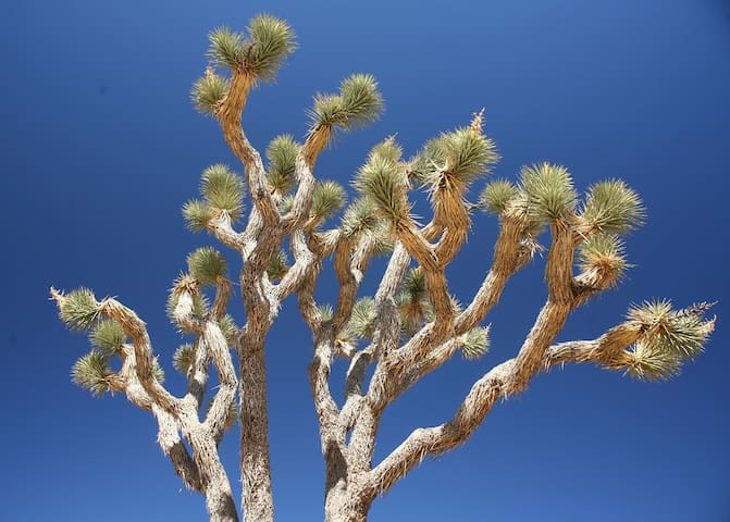 A fine ancient specimin of a Joshua Tree - they bloom every few years