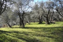 One of the four olive orchards - Oliveraie de la ferme