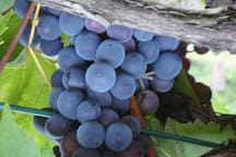 The famous Chianti san geovese grape - Raisin rouge pour le vin chianti