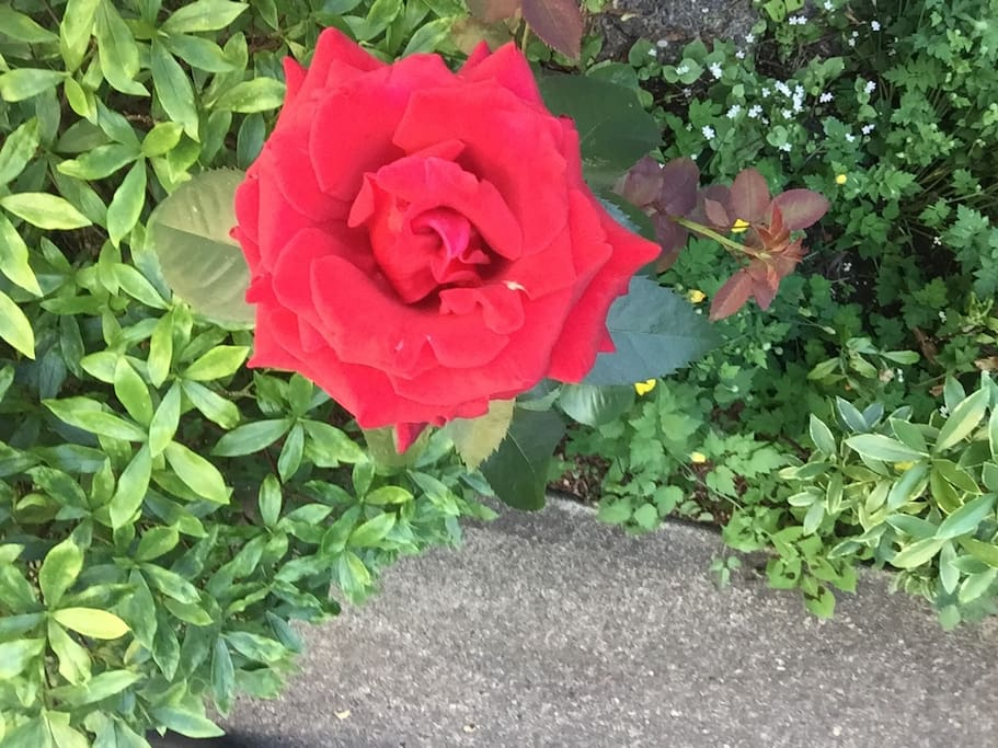 Rose in bloom. Several bushes around property.