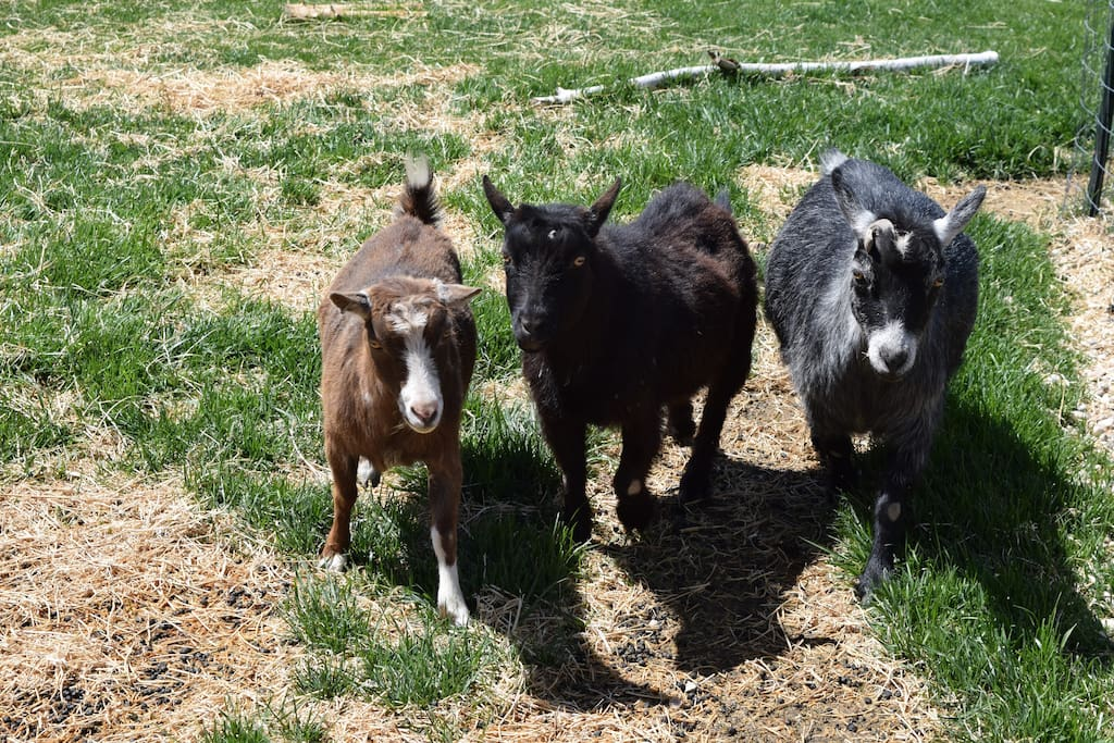 Funny + friendly pygmy goats