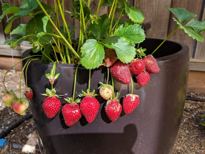 Strawberry growing in a container