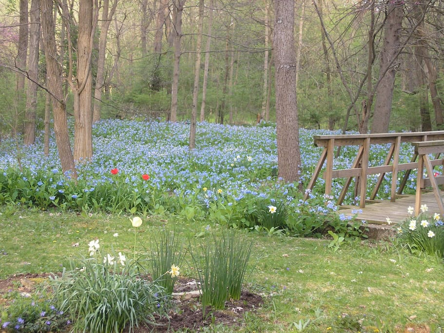 Enjoy the Virginia Bluebells that grow so well in OHIO.
