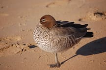 An Australian Wood Duck down on the beach - one of the many that live permanently in and around North Durras