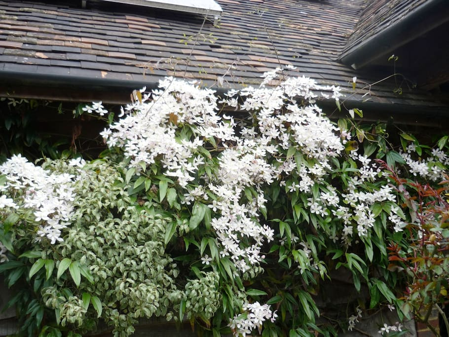 View from the apartment in Spring - Clematis Armandii in full bloom