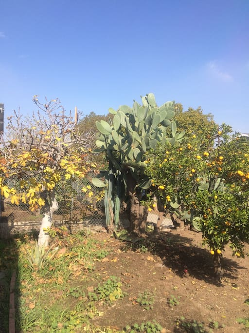 Front yard, 5 fruit trees