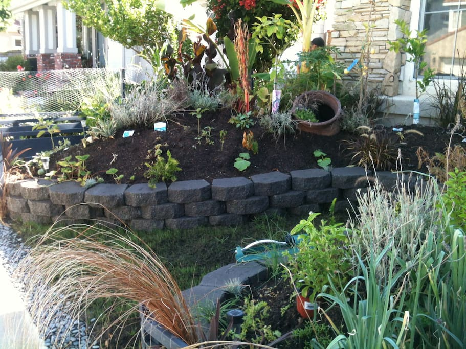 Olafs food-scaped front yard. Pumpkins, collards & mustard greens, rainbow Swiss chard, cabbage, winter squashes and much more.