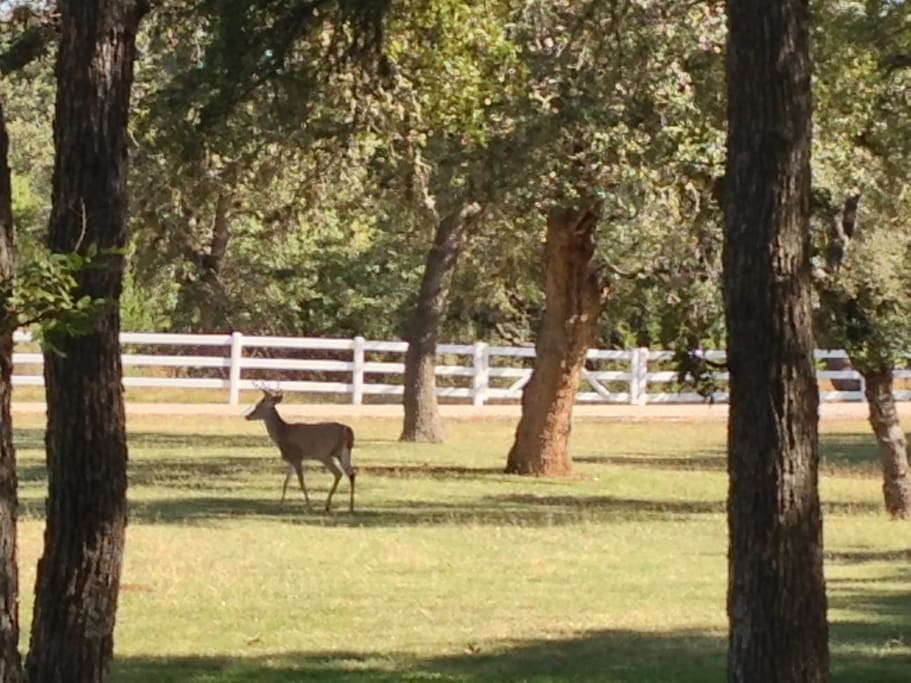 Deer Roaming the property