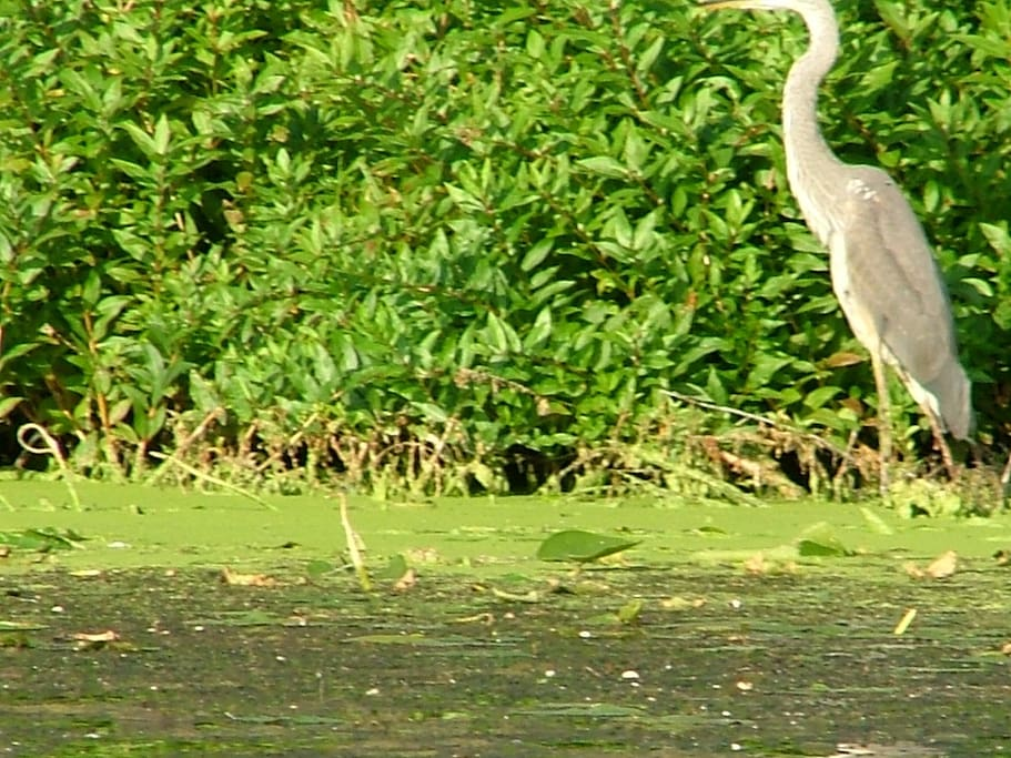 A heron hunting for fish on the other side of the lake.  We saw this from the kayak.