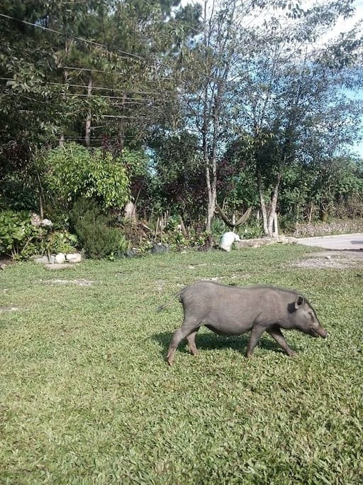 Our yard and parking area.  Our native pet pig roams around and eats the grass on the lawn