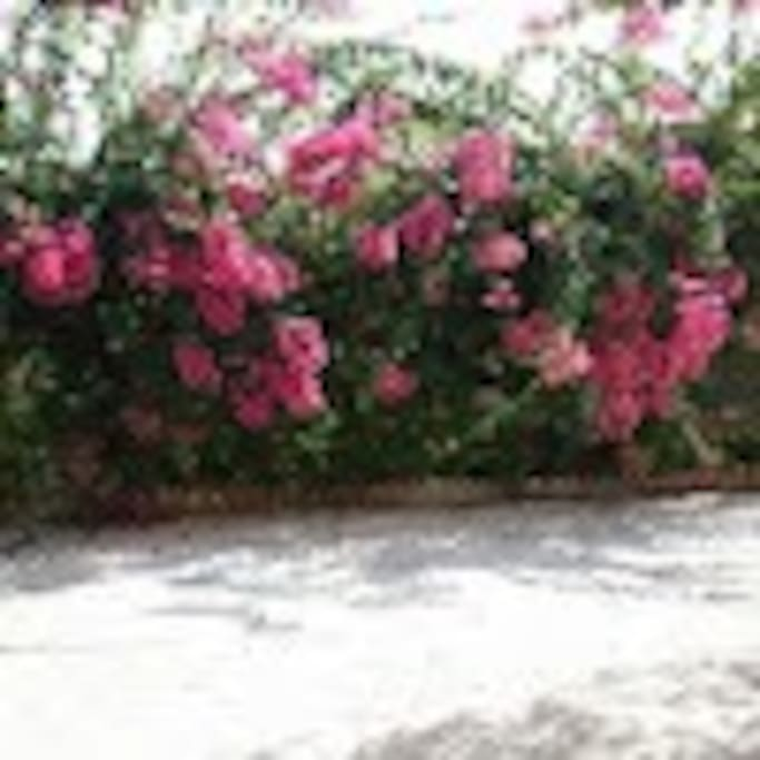 Villa Campofelice. Courtyard detail with our Majestic Bouganvillea