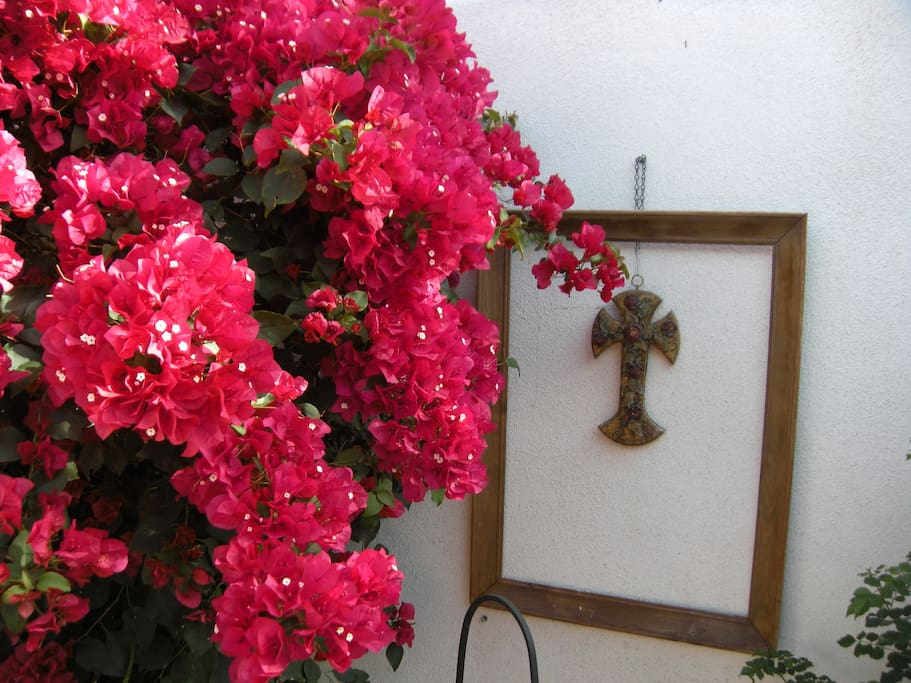 The Bougainvillea in bloom