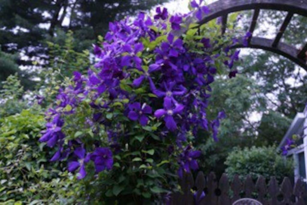 The garden gate in bloom.